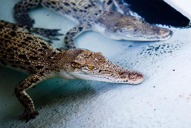 Krokotiilejä farmilla